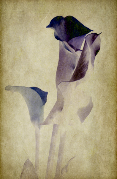 Stylized portrait of a calla lily negative image against a textured background
