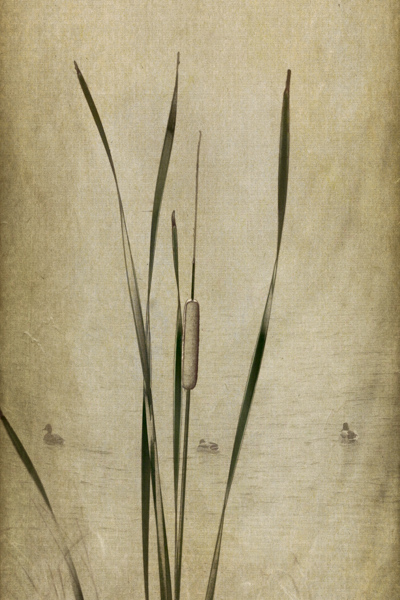 Image: composite of Cattails with ducks on a textured background